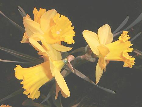 Kate Gallagher - Daffodils