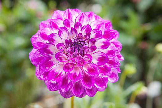 Daniel Furon - Purple Dahlia