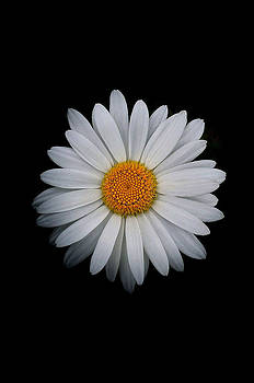 Bill Owen - Daisy On Black 02