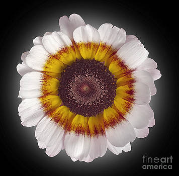 Daisy by Tony Cordoza