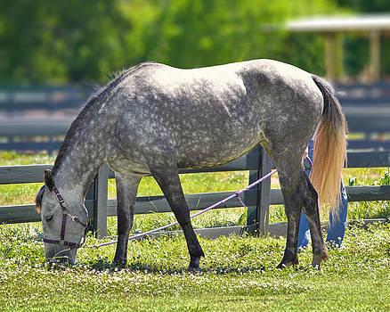 Mary Almond - Dapple Grey Horse