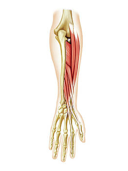 Deep Muscles Of Forearm by Asklepios Medical Atlas