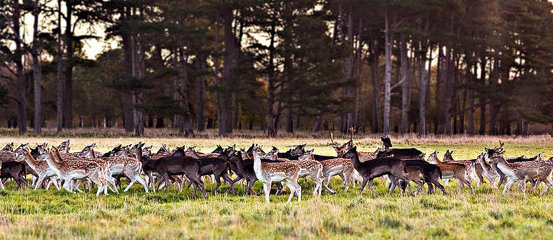 Deer in The Phoenix Park - Dublin by Barry O Carroll