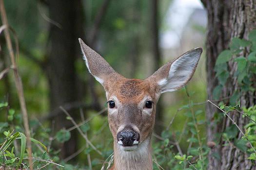 Deer by Kelli Howard