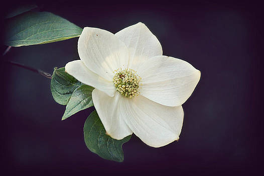 Dogwood Blossom by Melanie Lankford Photography