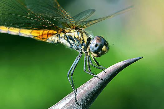 Dragonfly... by Ckworkshop