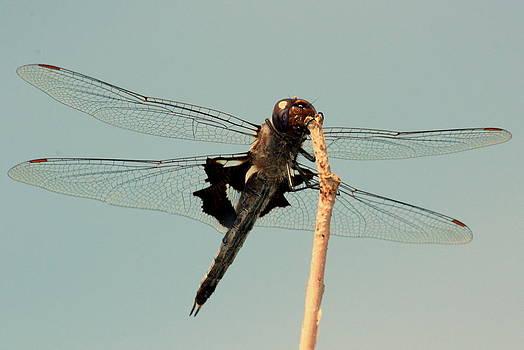 Rosanne Jordan - Dragonfly Details
