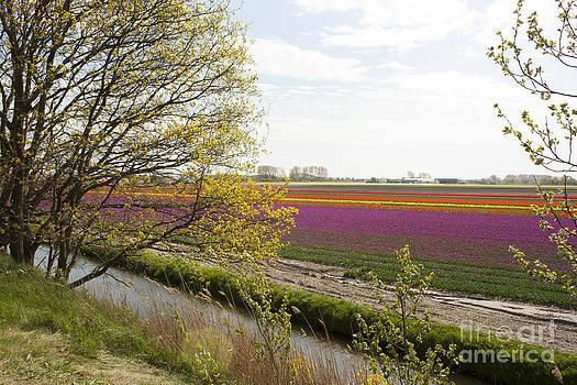 Dutch Tulip Field by Sara  Meijer