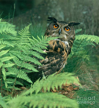 Hans Reinhard - Eagle Owl