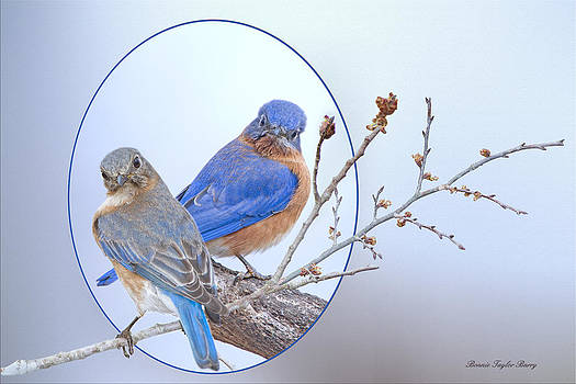 Eastern Bluebird Pair by Bonnie Barry