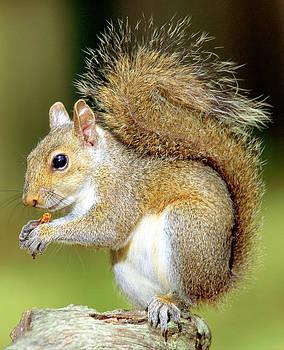 Millard H Sharp - Eastern Gray Squirrel