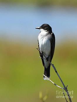 Eastern Kingbird by Jennifer Zelik