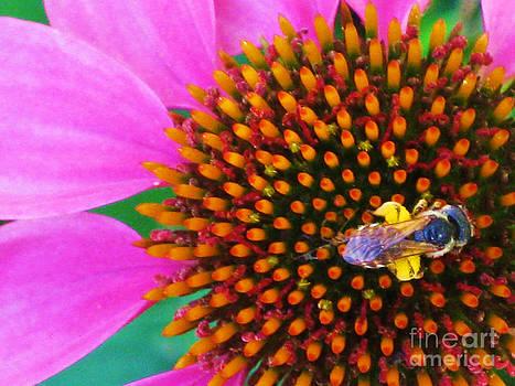 Echinacea purpurea and Apis mellifera Linnaeus by Elizabeth Matlock