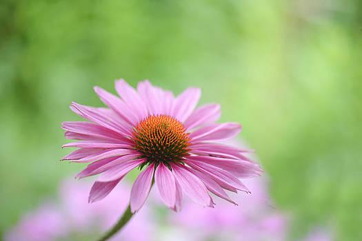 Echinacea by Silke Magino