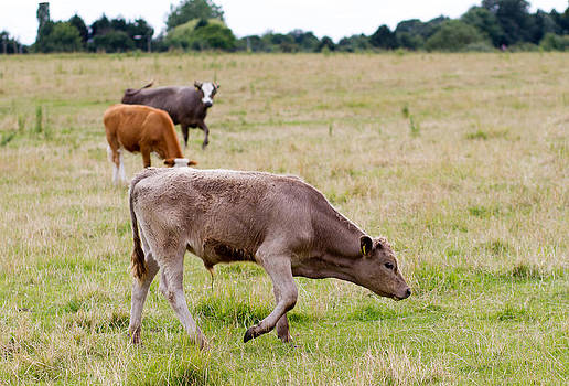 Fizzy Image - English cow