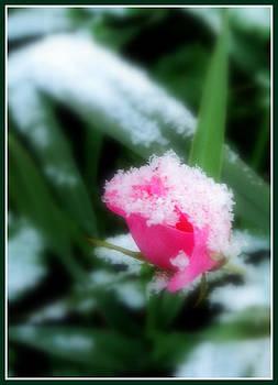 Es ist ein Rose entsprungen by Paula Tohline Calhoun