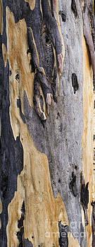 Steven Ralser - Australia - Eucalyptus bark
