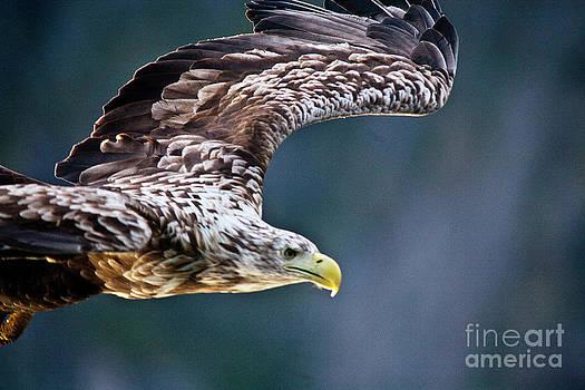 Heiko Koehrer-Wagner - European Sea Eagle