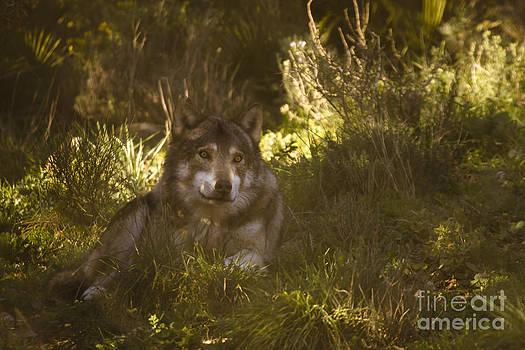 Angel Ciesniarska - european wolf