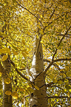 Fall Aspens by Gina Cordova