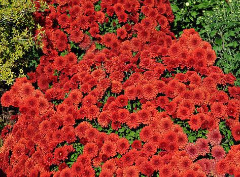 Debra  Miller - Fall Flowering Mums