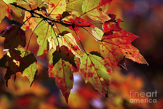 Fall Maple Leaves by Cindi Ressler