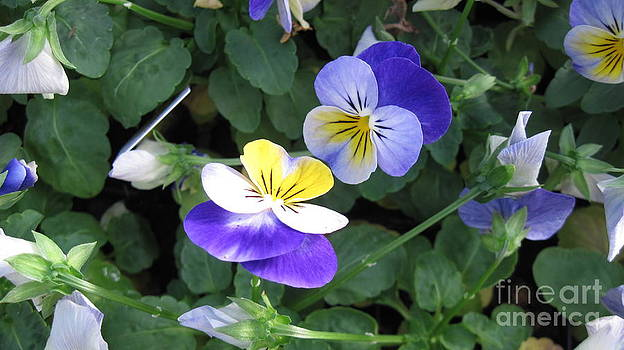Fall Pansies - Blue by Donna Cavender