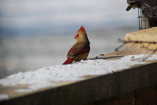 Female Cardinal in Winter by Wanda Jesfield