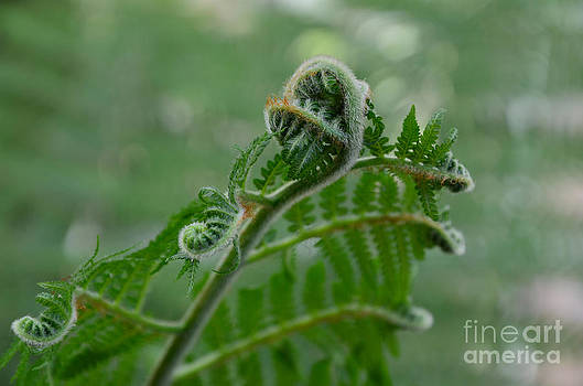 Fiddle Fern by Robert Meanor