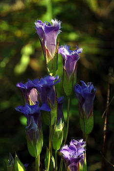 Fringed Gentian by Dick Todd