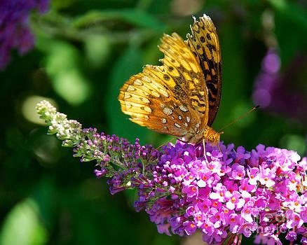 Mark Dodd - Fritillary Butterfly