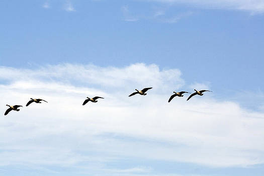 Terry Thomas - Geese in Flight