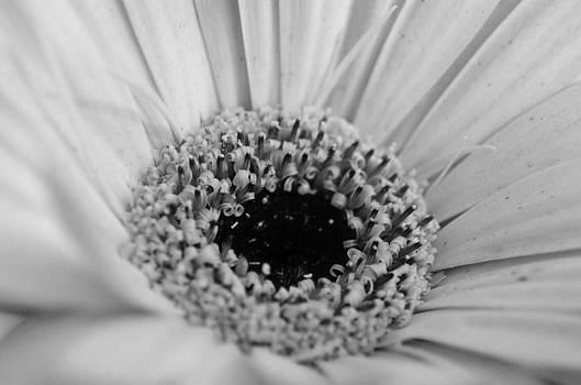 Gerber Daisy by Jeff Montgomery