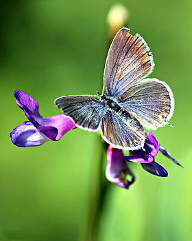 Connie Zarn - Glitterfly