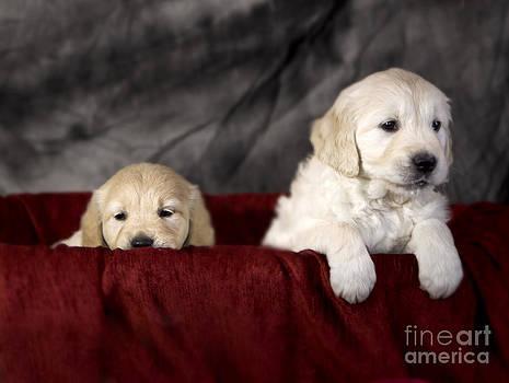 Angel Ciesniarska - Golden retriever puppies