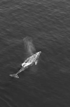 Gray Whale by Greg Amptman