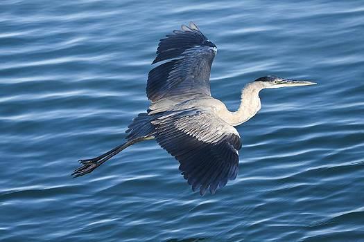 Regina  Williams  - Great Blue Heron in Flight