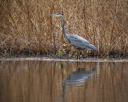 Jack R Perry - Great Blue Heron