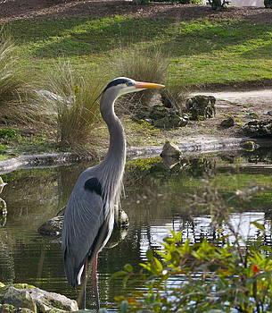 Great Blue Heron by Jim Hubbard
