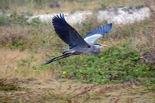 Great Blue Heron by Larry Van Valkenburgh