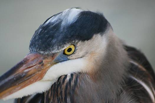 Regina  Williams  - Great Blue Heron