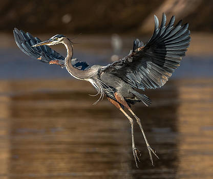 Great Blue on Approach  by Mike Watts