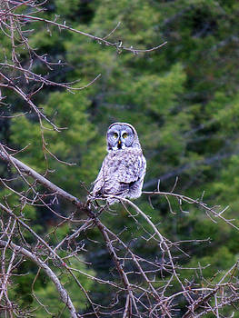 Connie Zarn - Great Gray Owl