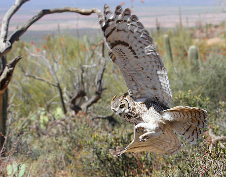 Great Horned Owl In Flight by Old Pueblo Photography