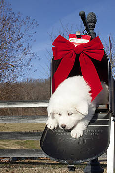 Great Pyrenees Puppy by Indiana Zuckerman