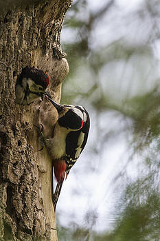 Greater Spotted Woodpecker by Bob Kemp