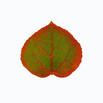 Green and Red Aspen Leaf 1 by Agustin Goba