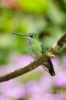 Oscar Gutierrez - Green-crowned Brilliant Hummingbird