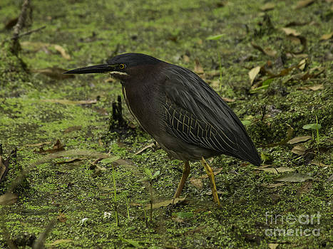 Tim Moore - Green Heron