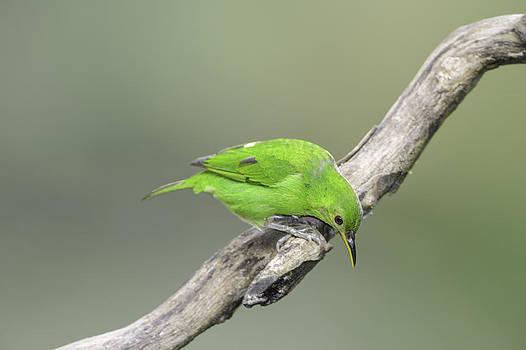 Green Honeycreeper by Thomas Chamberlin